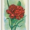 Carnation (Dianthus).