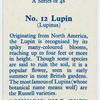 Lupin (Lupinus).