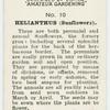 Helianthus (Sunflowers).