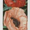 Poppies (Oriental).