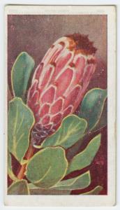Protea speciosa.