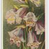Gladiolus spathaceus.