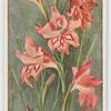 Gladiolus inflatus.