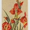 Gladiolus slatus.