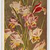 Gladiolus recurvus.