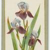 Iris cermanica (Flag iris).