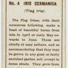 Iris cermanica (Flag iris).