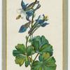 Auilecia hybrida (Columbine).