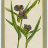 Tradescantia vircinica violacea (Spiderwort).