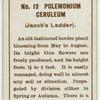 Polemonium ceruleum (Jacob's ladder).