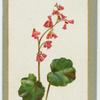 Heuchera sancuinea (The coral plant).