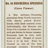 Rudbeckia speciosa.