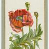 Papaver orientale (Oriental poppy).
