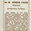 Anchusa italica (Bugloss).