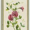 Lathyrus grandi-florus (The large-flowered everlasting pea).