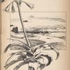 Lehutla, une fleur du Lessouto et le Caledon, près Hermon.