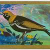 Regent bower-bird (Sericulus chrysocephalus).