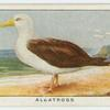 Albatross (Diomedia exulans).