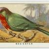 Bee-eater (Nyctiornis amictus).