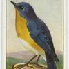 Bluebird (Sialia sialis).