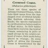 Crowned crane (Baleariea gibbericeps).