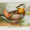 Mandarin-duck (Æx galerita).