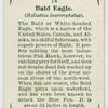 Bald eagle (Haliaëtus leucocephalus).