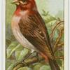Purple finch (Carpodacus purpureus).
