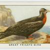 Great frigate-bird (Fregata aquila).