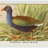 Purple gallinule (Ionornis martinicus).