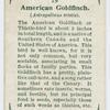 American goldfinch (Astragalinus tristis).