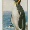 King penguin (Aptenodytes pennanti).