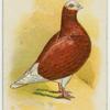 Red bald long-faced tumbler.
