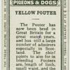 Yellow pouter.