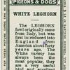 White leghorn.