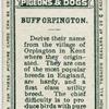 Buff Orpington.