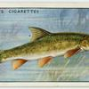 Barbel (Family: Cyprinidae).