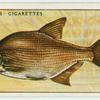 Bream (Family: Cyprinidae).