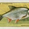 Pomeranian bream (Family: Cyprinidae).