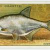 White or silver bream (Family: Cyprinidae).