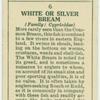White or silver bream (Family: Cyprinidae).