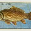 Carp (Family: Cyprinidae).