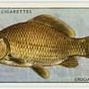 Crucian carp (Family: Cyprinidae).