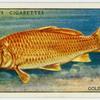 Golden carp (Family: Cyprinidae).