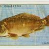 Leather carp (Family: Cyprinidae).