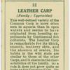 Leather carp (Family: Cyprinidae).