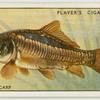 Mirror carp (Family Cyprinidae).