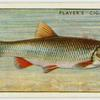 Chub (Family: Cyprinidae).
