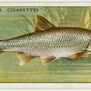 Dace (Family: Cyprinidae).