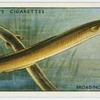Broad-nosed or yellow eels (Family: Muraenidae).